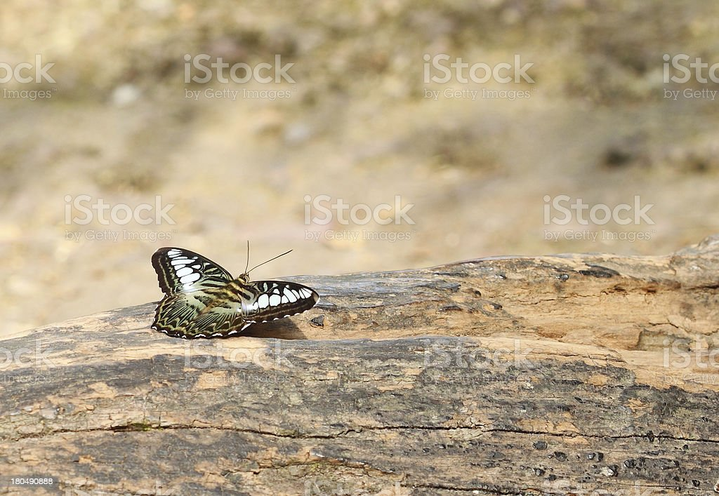 clipper butterfly ( parthenos sylvia) resting royalty-free stock photo