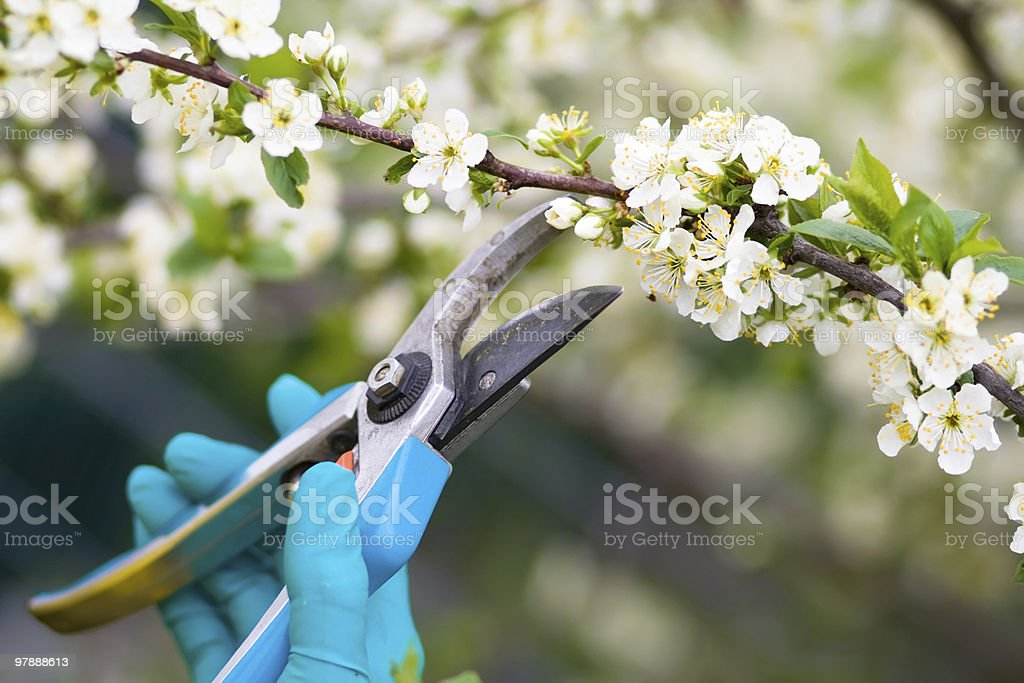 Clippers being used to prune bushes stock photo