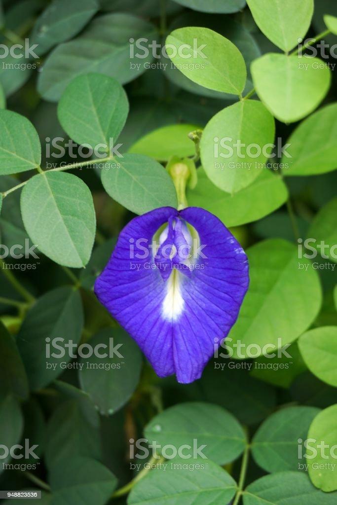 Clitoria ternatea flower in nature garden stock photo