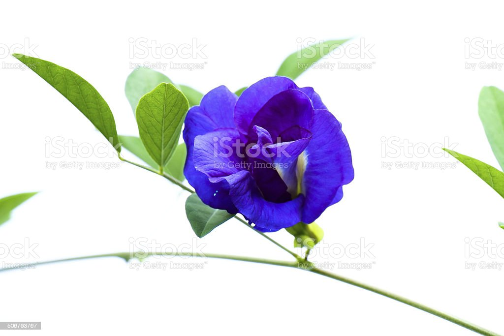 Clitoria ternatea flower stock photo