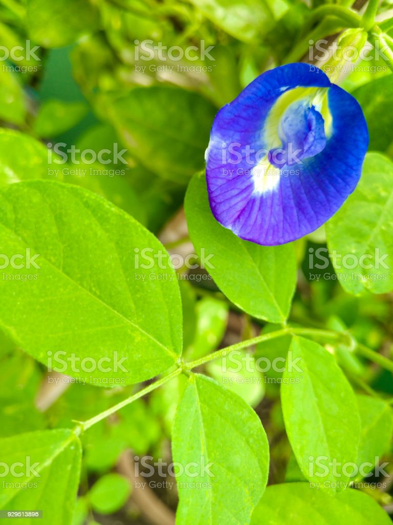 Clitoria ternatea has been ascribed properties affecting female libido due to its similar appearance to the female reproductive organ stock photo