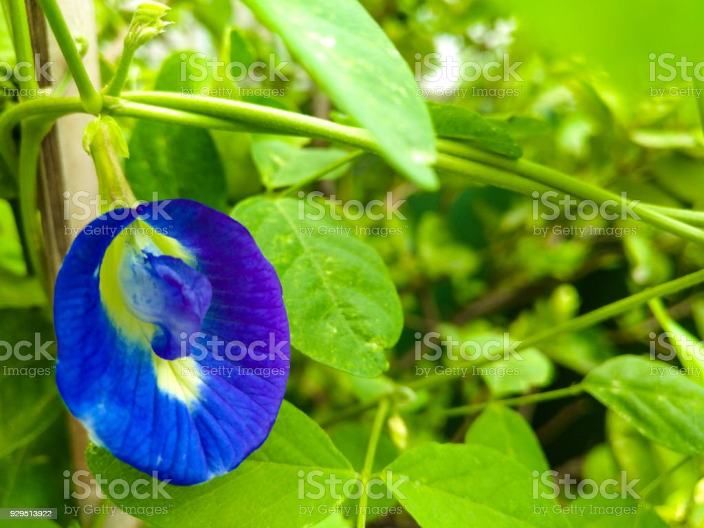 Clitoria ternatea is ascribed various qualities including memory enhancing, nootropic, antistress, anxiolytic, antidepressant, anticonvulsant, tranquilizing, and sedative properties stock photo