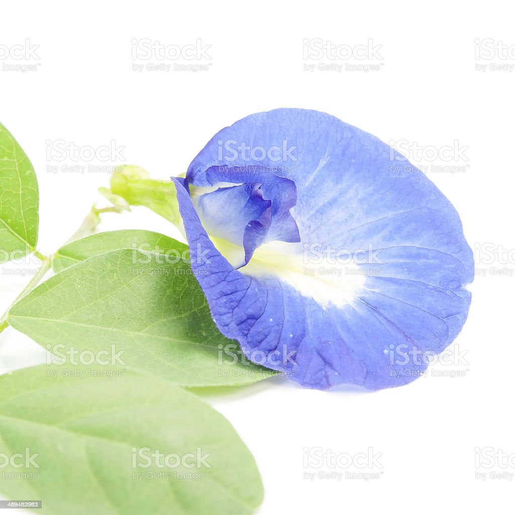 clitoria ternatea or Aparajita flowers stock photo