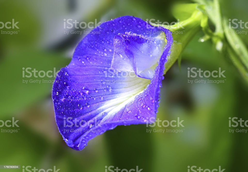 Clitoria ternatea royalty-free stock photo