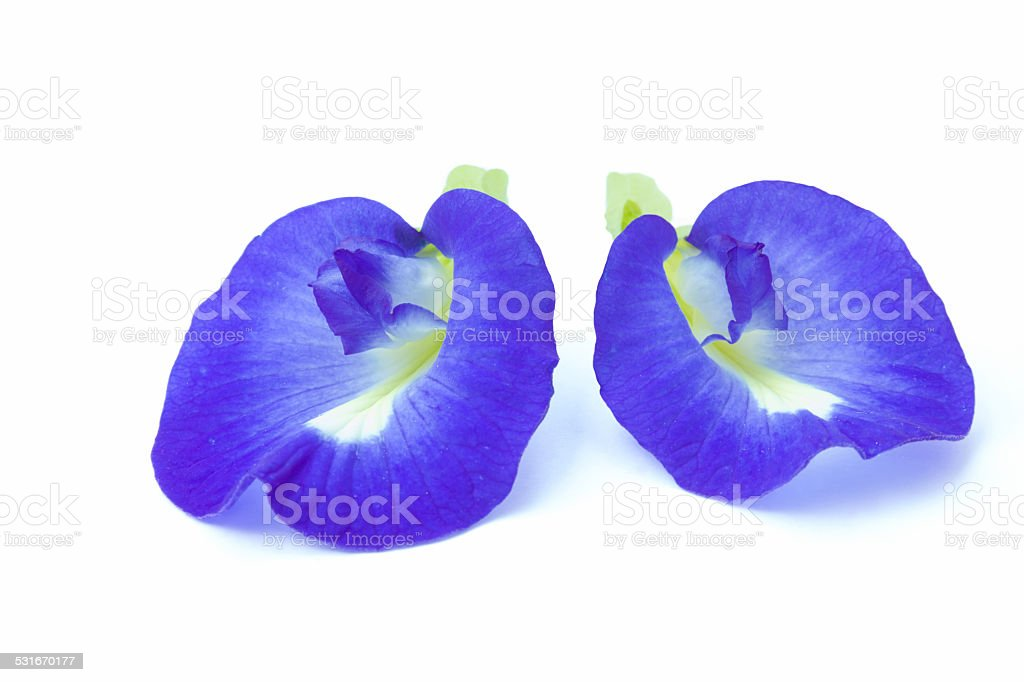 Clitoria ternatea stock photo