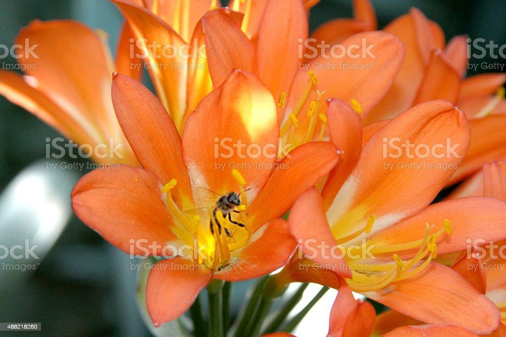 Clivia and Bee stock photo