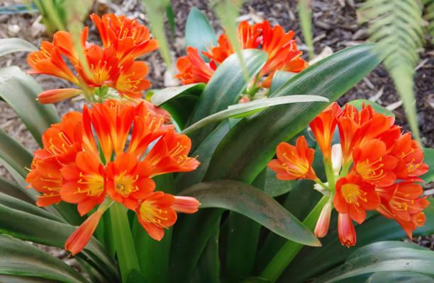 Clivia Blossoms stock photo