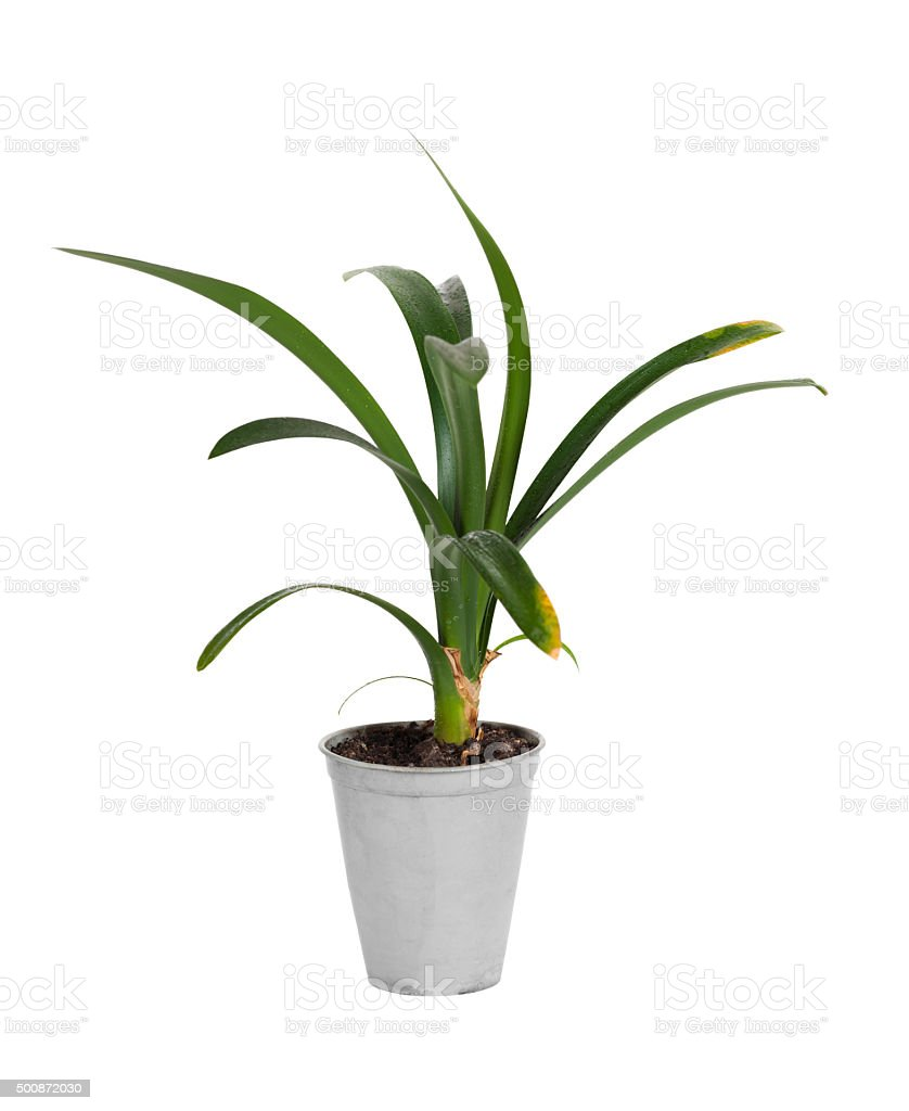 clivia flower in a pot stock photo