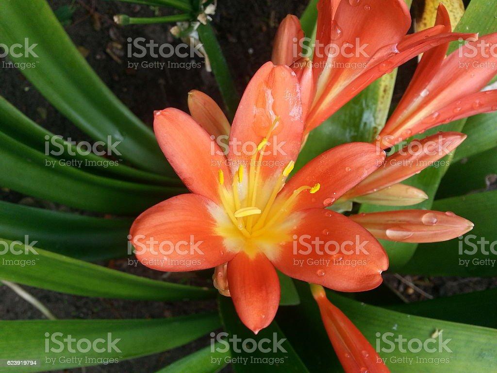 Clivia flowerhead stock photo