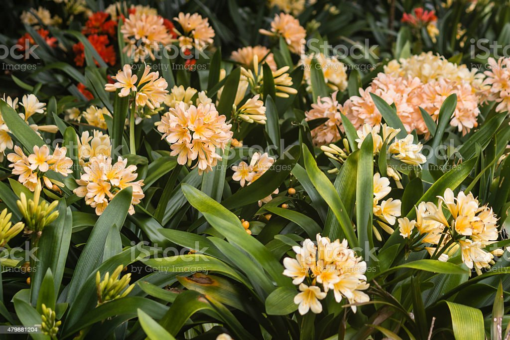clivia flowers in bloom stock photo