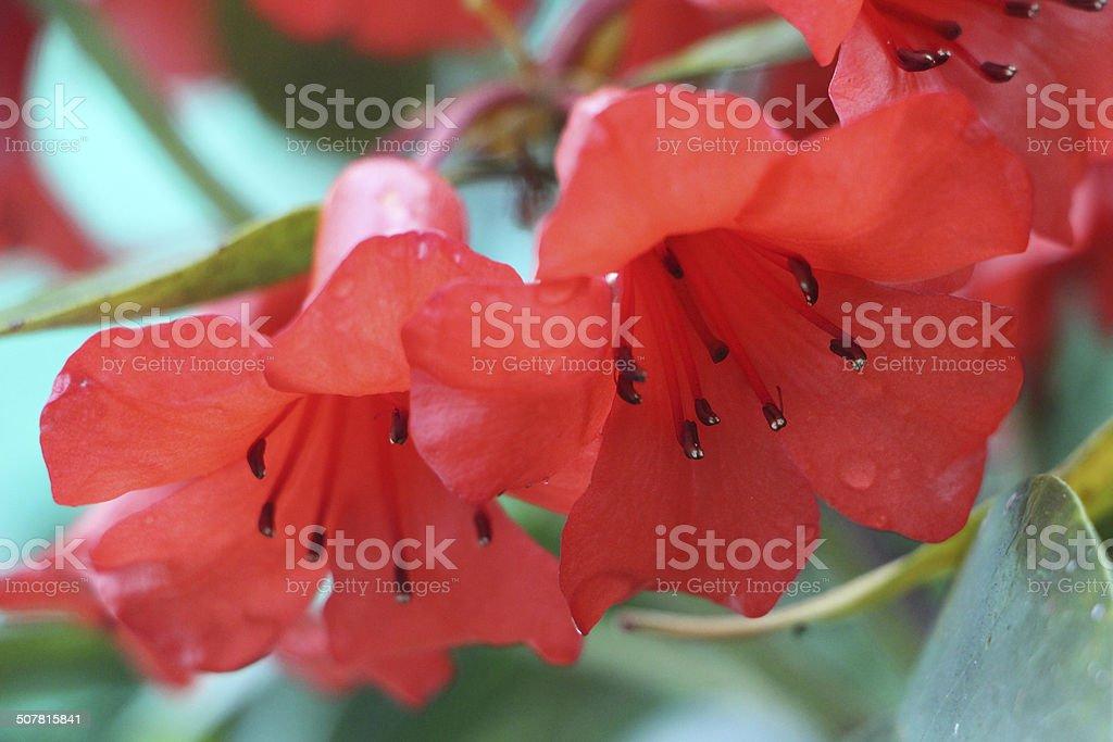 Clivia flowers stock photo