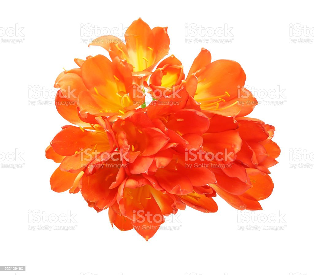 Clivia in a white background stock photo