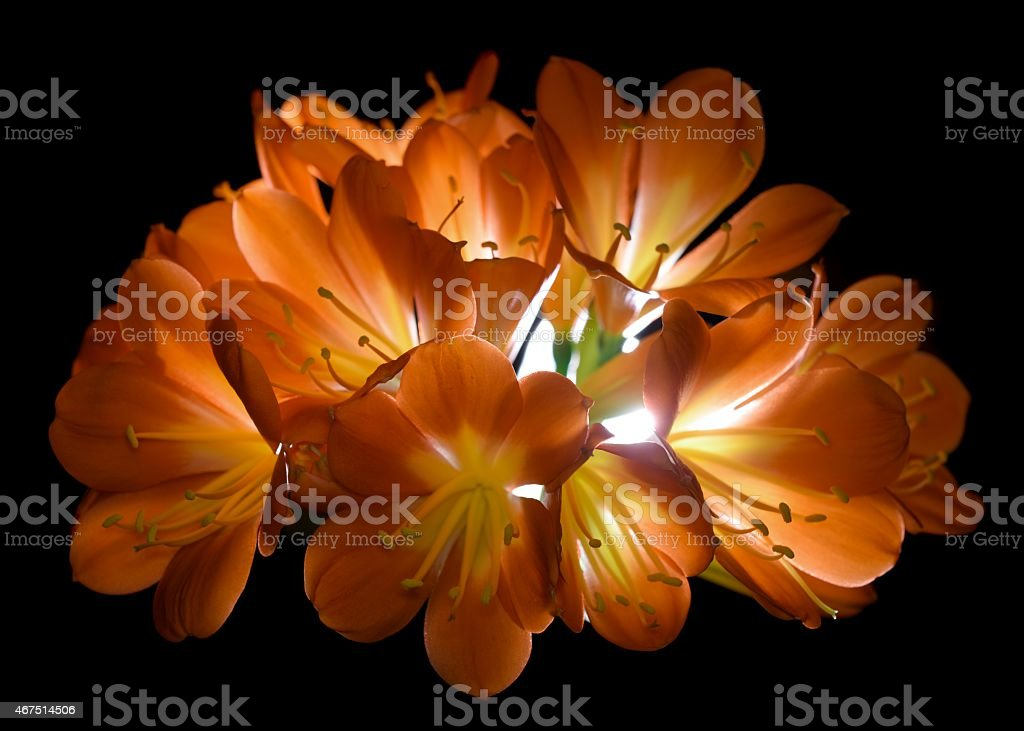 Clivia lily flower stock photo