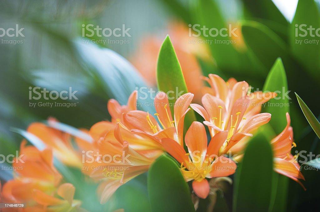 Clivia lily stock photo