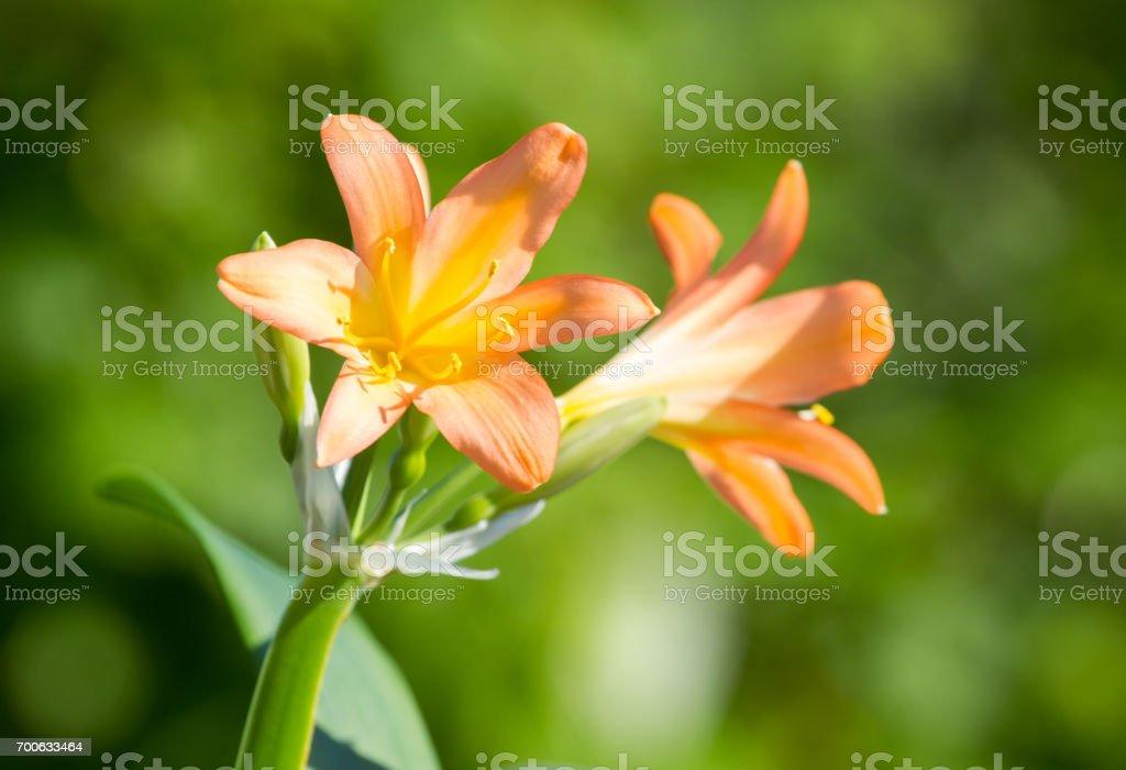 Clivia miniata blooms stock photo