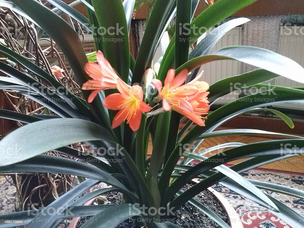 Clivia miniata flower stock photo