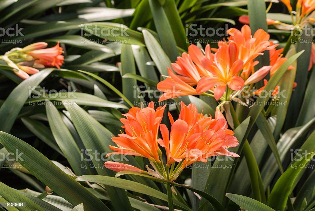 clivia miniata flowers stock photo