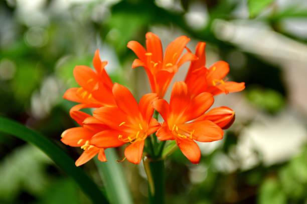 Clivia miniata / Kaffir lily stock photo