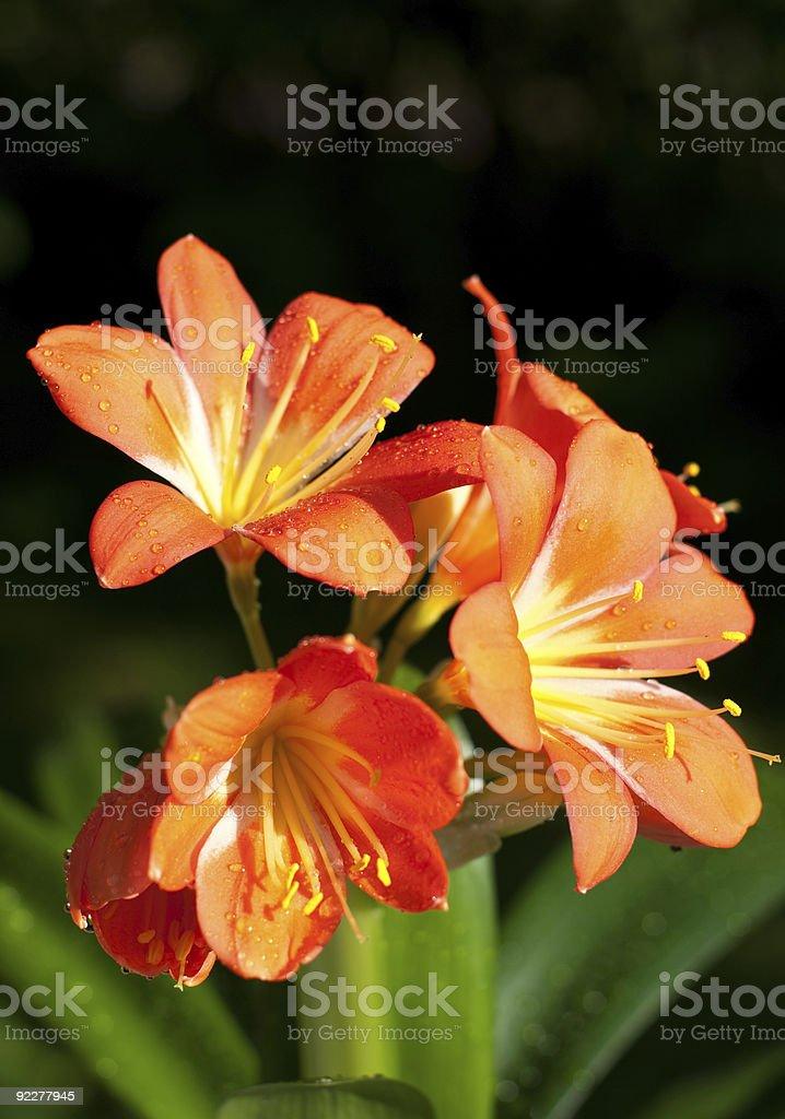 clivia stock photo