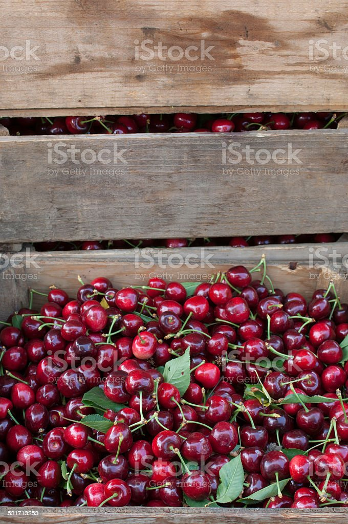 Cloase-up of Boxed Cherries After Being Harvested stock photo