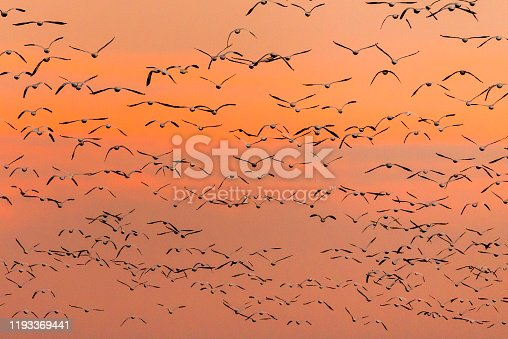 Bosque Del apache National Wildlife Refuge is the winter home to thousands of sandhill cranes
