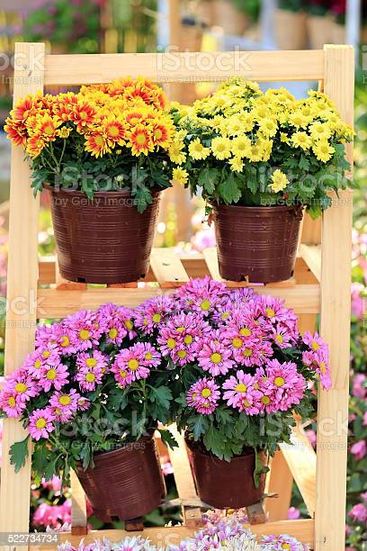 Clolorful chrysanthemum flowers in pots on wooden frame picture id522734734?b=1&k=6&m=522734734&s=612x612&h=zzq3kygex6y1bjhk5g2edocusoyo0ezzgfwrrygf9em=
