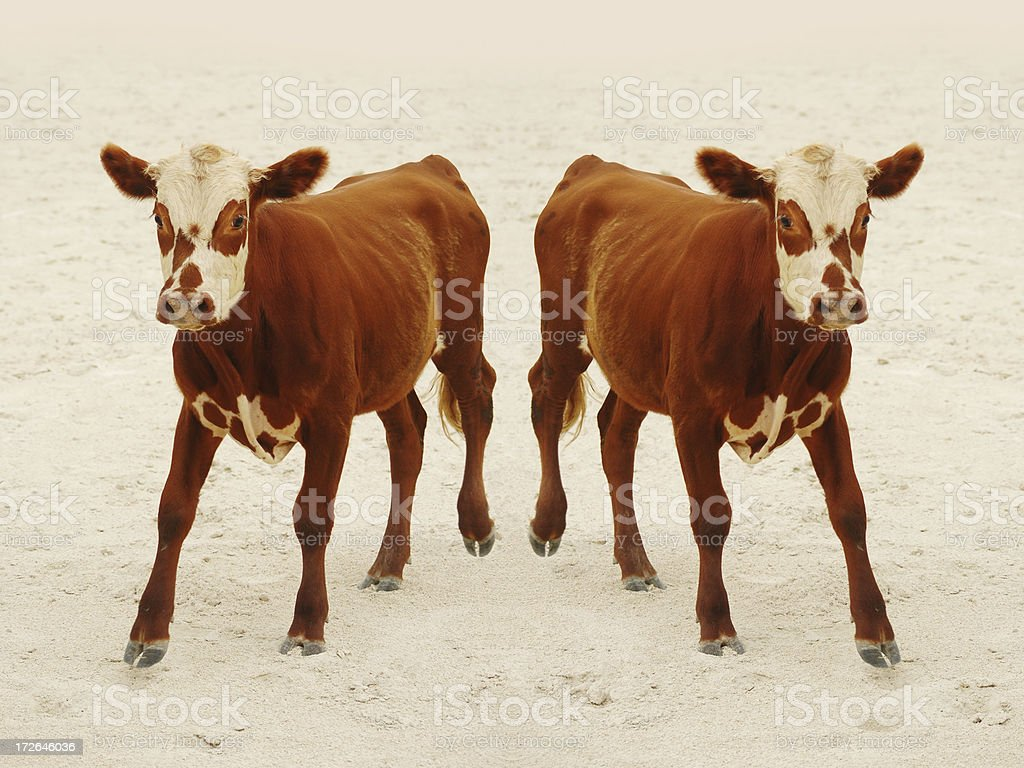 cloned calf stock photo