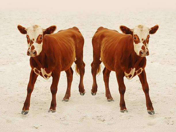 cloned calf stock photo