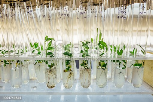 Cloned gene modified micro plants in test tubes with nutrient medium. Micropropagation technology in vitro.