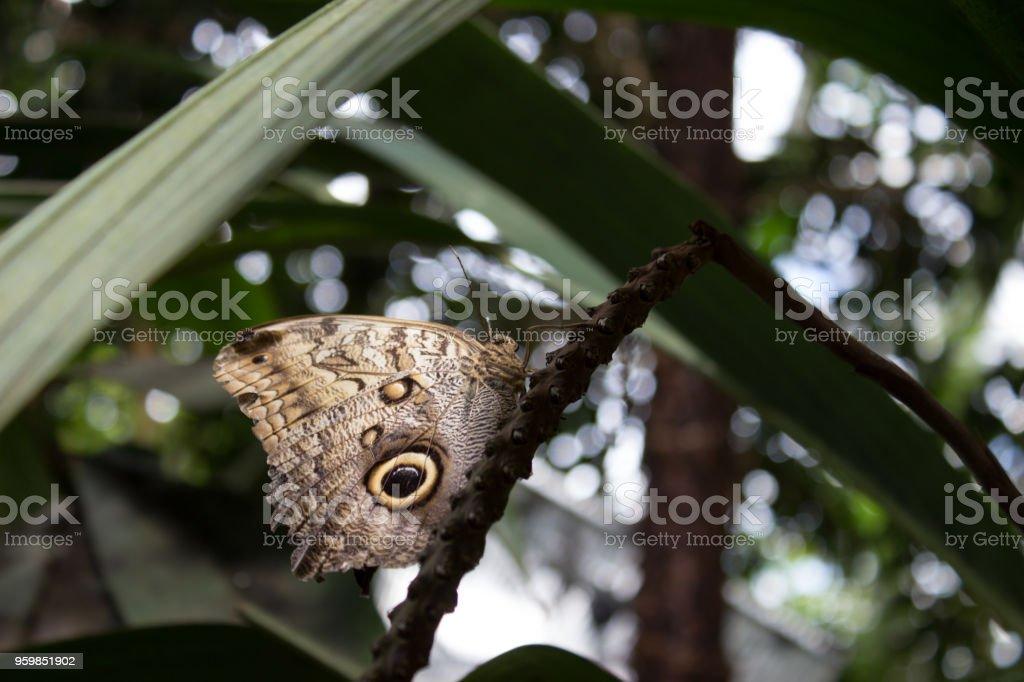 Close caligo memnon tropical butterfly stock photo