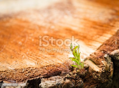 istock Close detail of an oak stump, cut for logging, in which a new sprouts spring is being born 1059681322