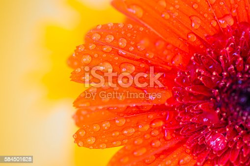 Close detail of orange gerbera with  drops of water