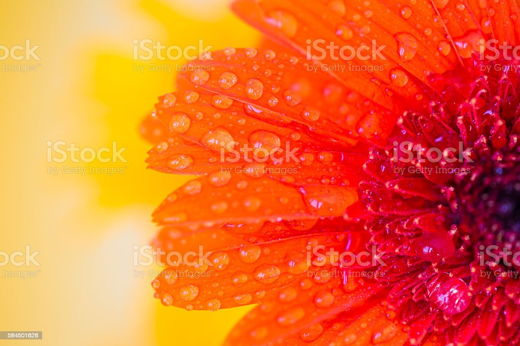 Close detail of orange gerbera with  drops of water stock photo