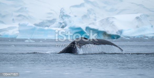Close encounter with a group of humpback whales in the waters off the west coast of Graham Land in the Antarctic Peninsula, Antarctica.
