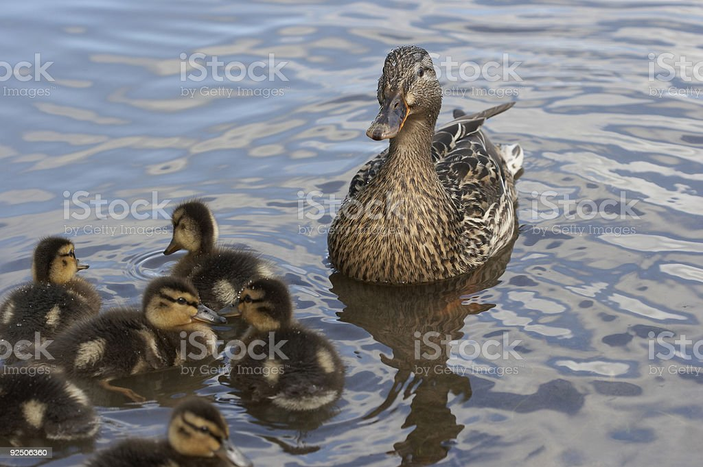 Close family of Mallard Ducks on water royalty-free stock photo