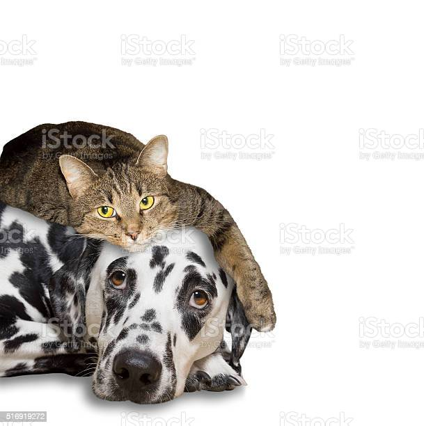 Close friendship between a cat and a dog picture id516919272?b=1&k=6&m=516919272&s=612x612&h=jv6hswlomct9 znowwevelcgb1ledc5cyrfn62bh1w0=