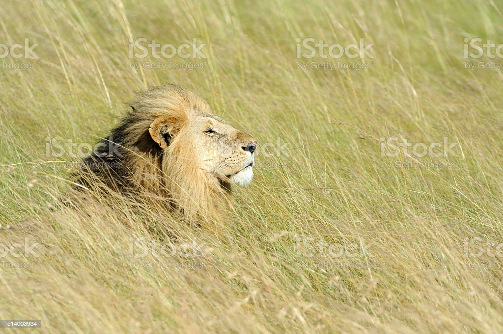 Close lion in National park of Kenya stock photo
