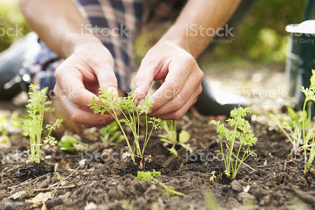 Close of  man gently planting seedlings in fresh earth stock photo