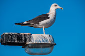 Close of seagull standing on a post Lamp.