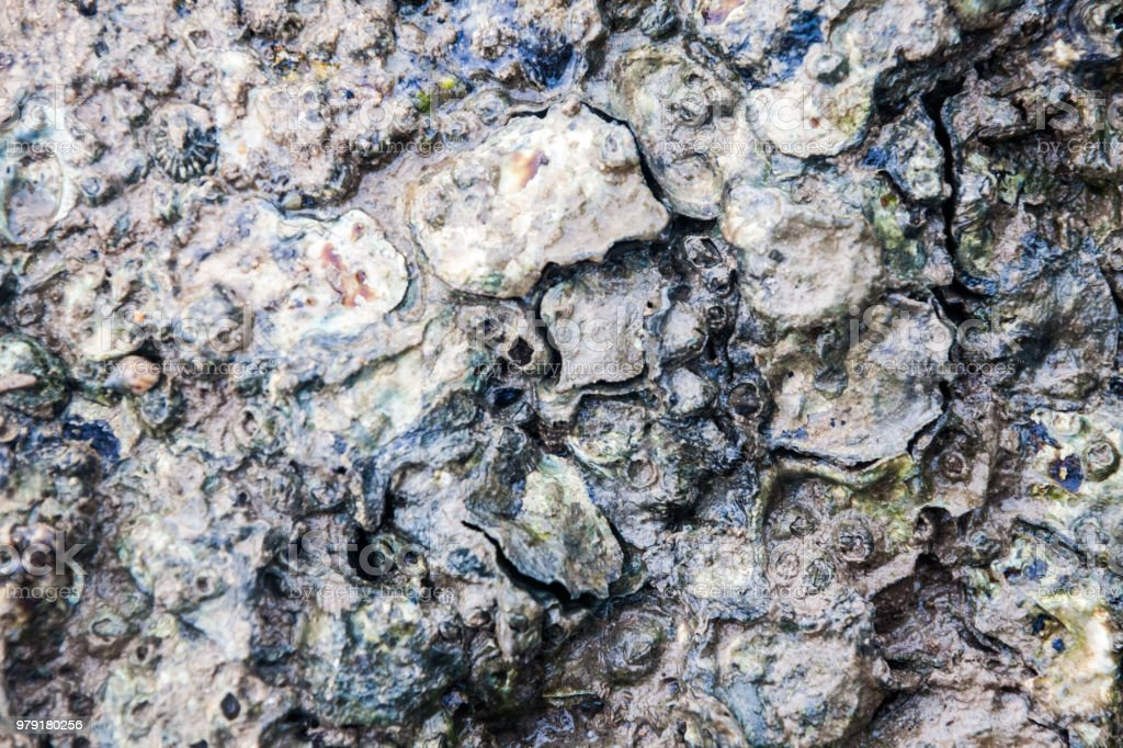 Close of view of real oyster on top muddy rock by the shore stock photo
