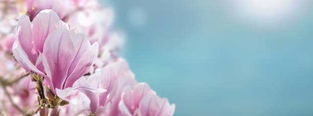 cerca de hermosas Magnolia flowerss en un cielo azul soleado en primavera - foto de stock