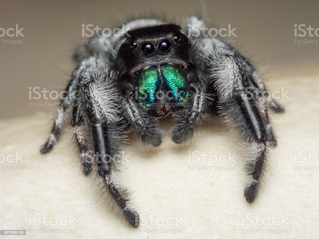 A close portrait of a beautiful male Phidippus regius stock photo