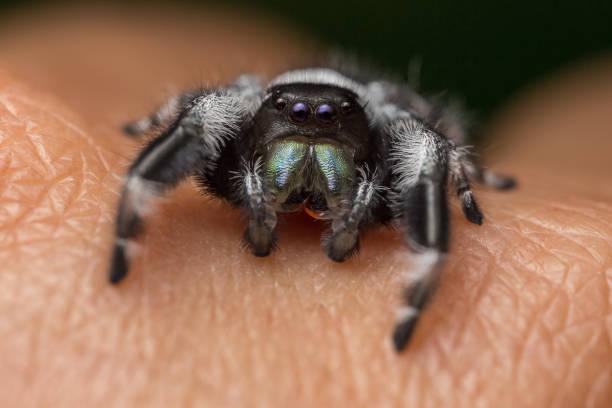 A close portrait of a beautiful male Phidippus regius stock photo