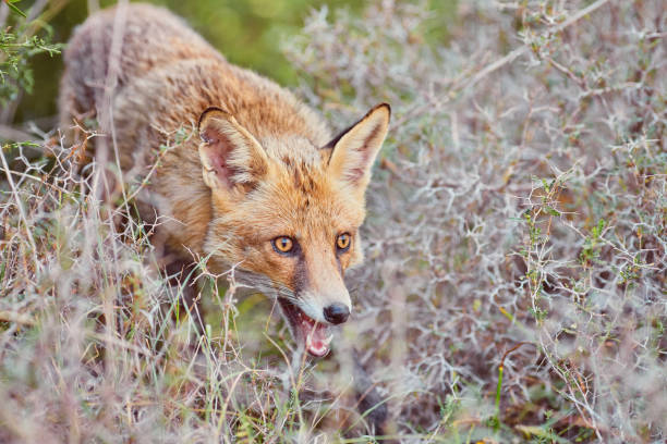 Close portrait of a red fox in nature stock photo