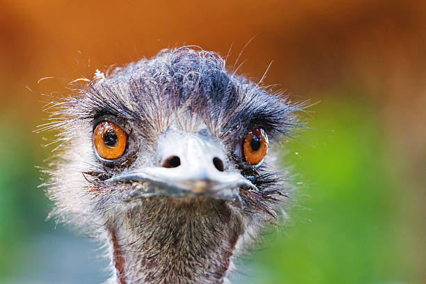 close portrait of ostrich. funny bird with small head. - struisvogel stockfoto's en -beelden