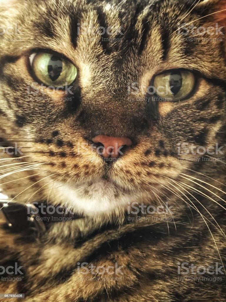 Close portrait of tabby cat stock photo