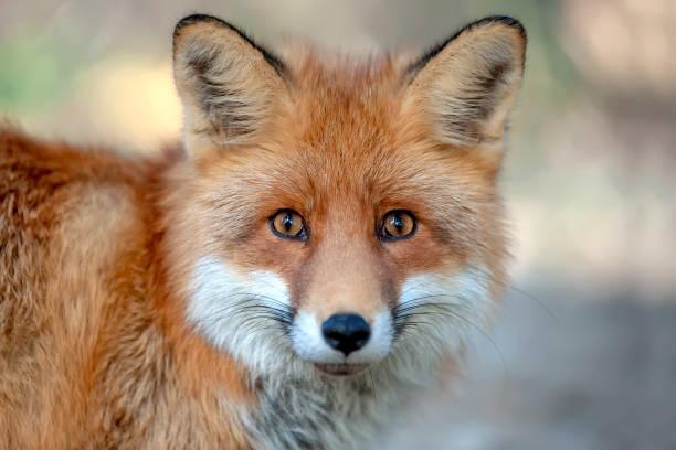 retrato cerca zorro rojo - zorro fotografías e imágenes de stock