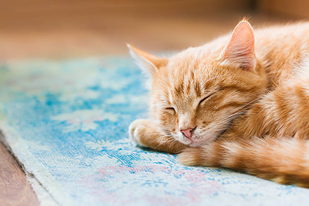 Close Red Tabby Mixed Breed Short-Haired Domestic Young Cat, Sleeping stock photo