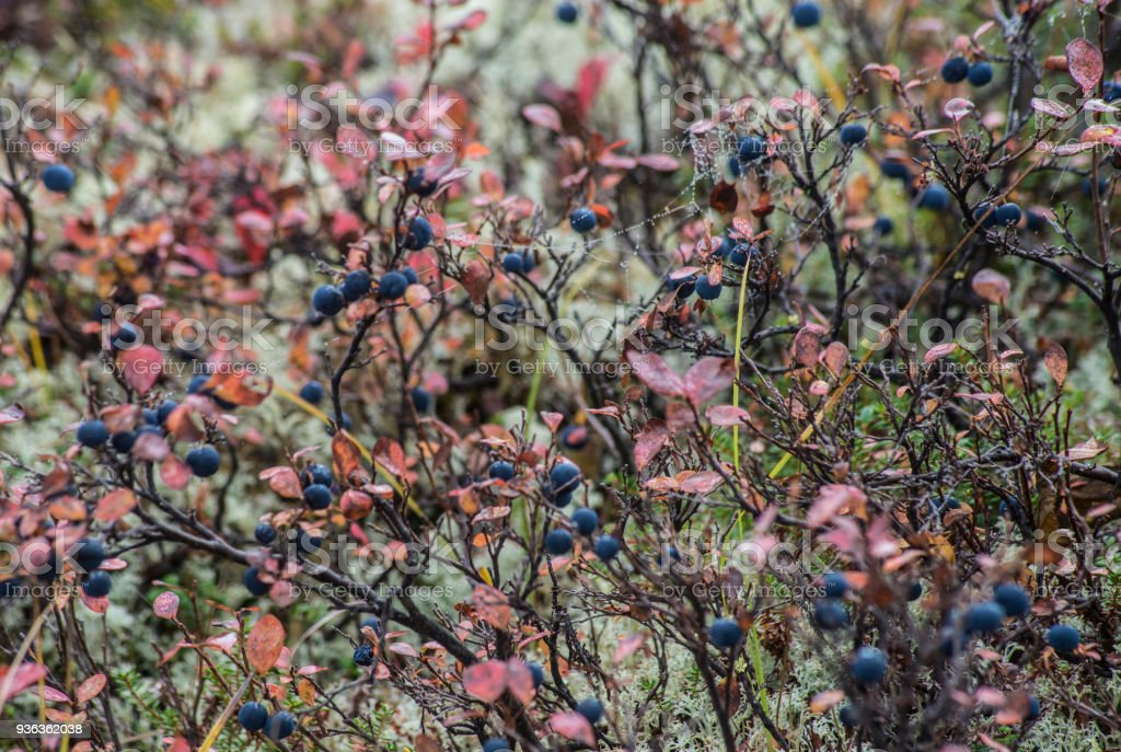 Close ripe Blueberry Bushes amid green moss in Denali National Park. stock photo