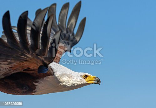 Close shot of a flying African fish eagle (Haliaeetus vocifer). The African fish eagle is a large bird, and the female, at 3.2–3.6 kg (7.1–7.9 lb) is larger than the male, at 2.0–2.5 kg (4.4–5.5 lb).